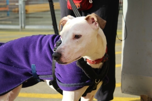 Shiloh is looking for a new home: http://www.islaydogrescue.org.uk/